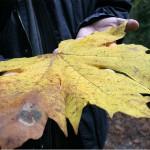 Riesenblatt eines Ahornbaumes